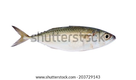 Fresh mackerel fish isolated on the white background
