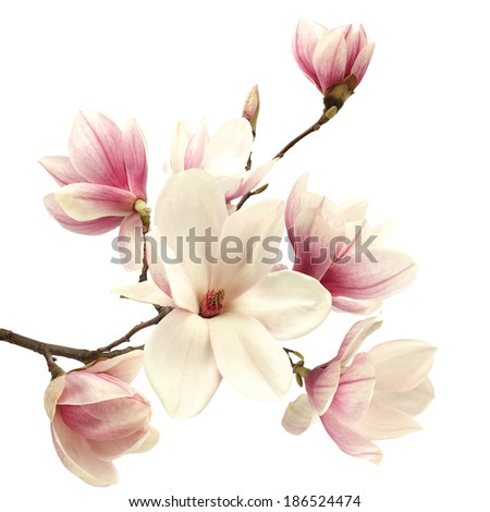 fresh magnolia  - stock photo