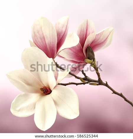 fresh magnolia flower and sun space  - stock photo