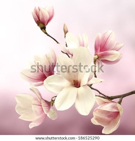 fresh magnolia flower and tree  - stock photo