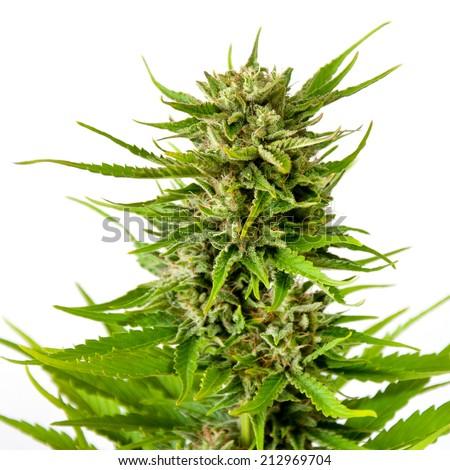 Fresh marijuana bud isolated on white background - stock photo