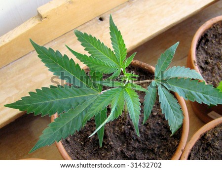 fresh Marijuana plants/the process of home growing weed - stock photo