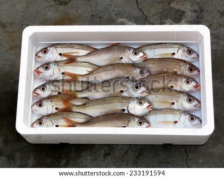 fresh Mediterranean Blackspot Seabream, polystyrene box - stock photo