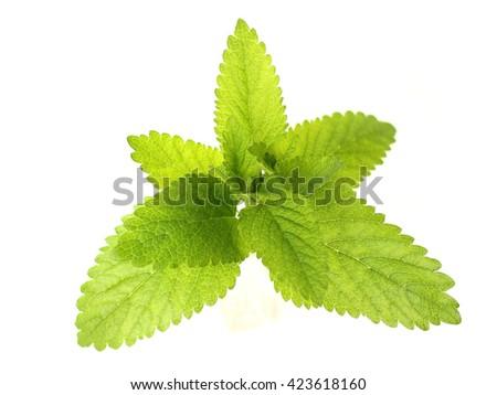 fresh melissa on white background - stock photo