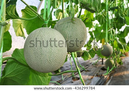 Fresh Melon or Cantaloupe hanging on tree in the plantation. - stock photo