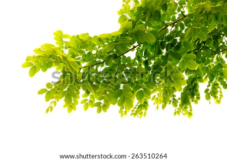 fresh mild early growth green leaves and branches on white background - stock photo
