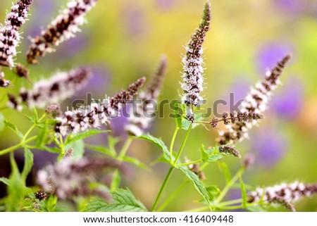 Fresh mint flowers in garden selective focus - stock photo