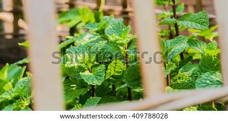 Fresh Mint.Fresh kitchen Mint.Fresh kitchen tree mint.Kitchen Mint green background.green leaf.Green leafy herbs.herb leaves.Kitchen Mint ( Mental cordifolia Opiz.) bush in pot on natural light. - stock photo