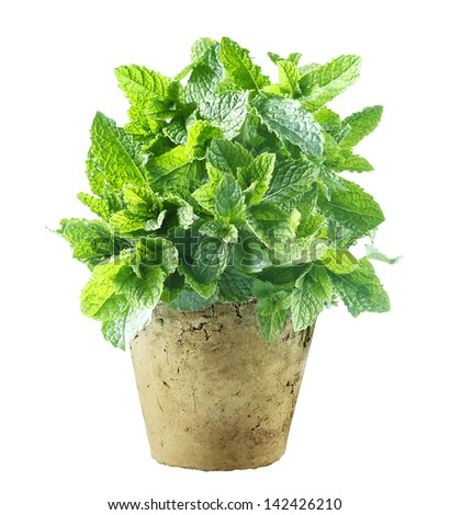 Fresh mint growing in a flowerpot to ensure the freshest ingredients in the kitchen for cooking and garnish - stock photo