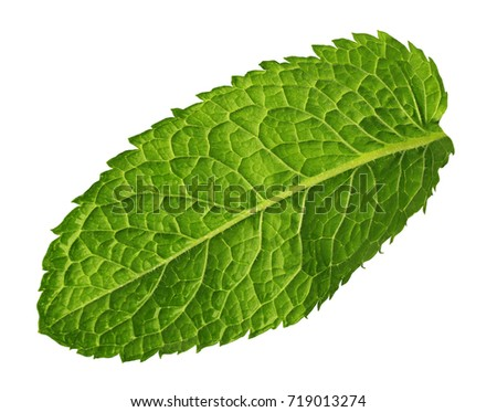 Fresh mint leaf on white background
