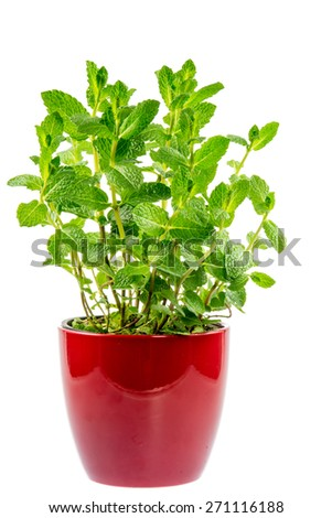 Fresh mint plant in a ceramic pot isolated on white - stock photo