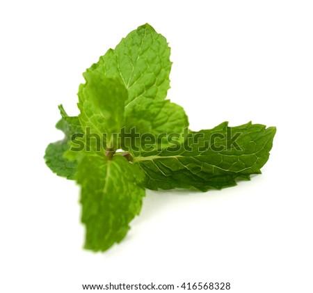 Fresh mint sprig isolated on white background - stock photo