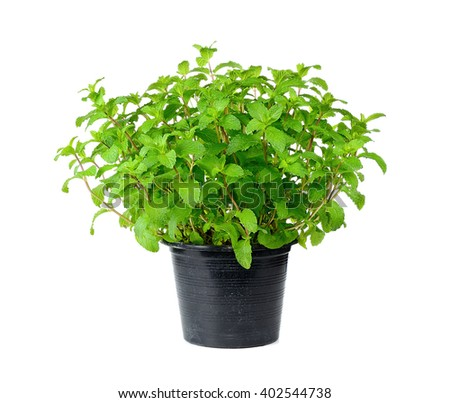 Fresh mint with  pot isolated on over white background. - stock photo