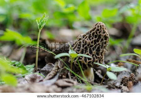 fresh morel in forest and spring