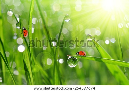 fresh morning dew and ladybirds - stock photo