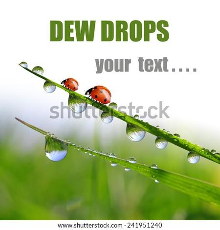Fresh morning dew and ladybugs  - stock photo