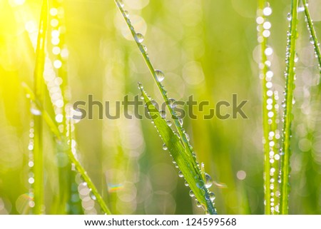 Fresh morning dew on spring grass, natural background - close up with shallow DOF. - stock photo