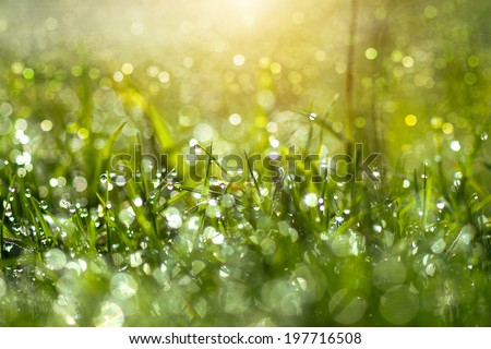 Fresh morning dew on spring grass, natural green light background - stock photo