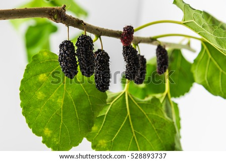 Fresh mulberries and leaf on white background.