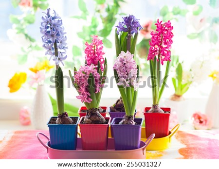 Fresh multicolored hyacinths in pots
