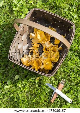 Fresh mushrooms on a wooden basket. The mushrooms are chanterelles. There is also the tools for picking up mushrooms, a knife and a brush.