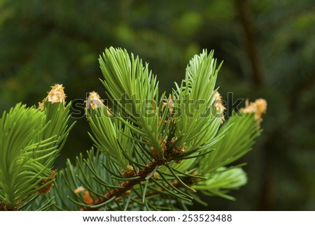 fresh needle leaves on pine branch at spring - stock photo