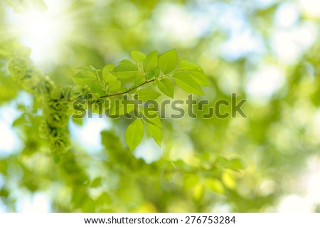 fresh new green leaves glowing in sunlight