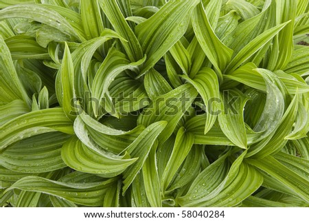 Fresh new growth of alpine lily leaves. - stock photo