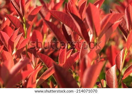 Fresh new leaves of native australian plant lilly pilly - stock photo