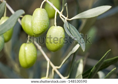 Fresh olives hanging in the tree - stock photo