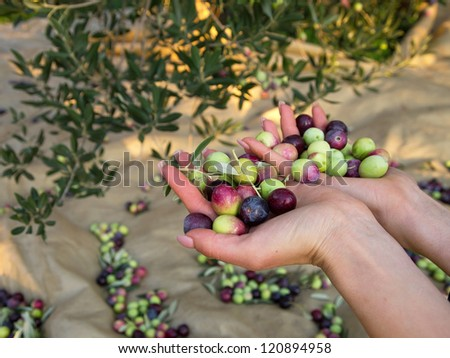 Fresh olives in woman hand on plantation - stock photo