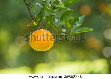 fresh orange on plant, orange tree - stock photo