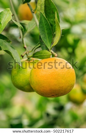 Fresh oranges grow on the tree,in fruit plantations