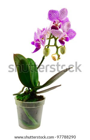 fresh orchid flower in flowerpot isolated on white - stock photo