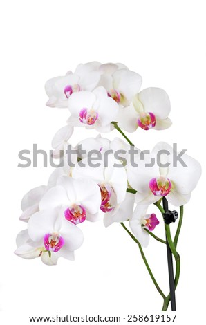 Fresh orchid flower, isolated on white background, DOF
