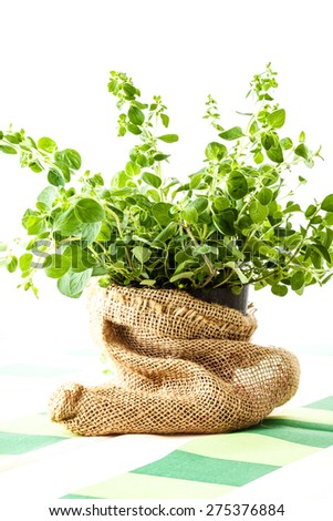 Fresh oregano in a flowerpot - stock photo