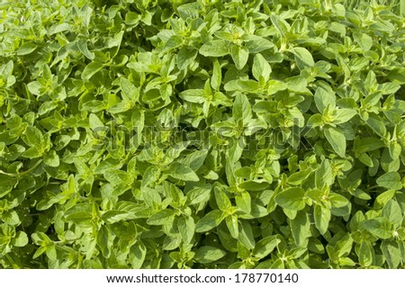 Fresh oregano in the herb garden - stock photo