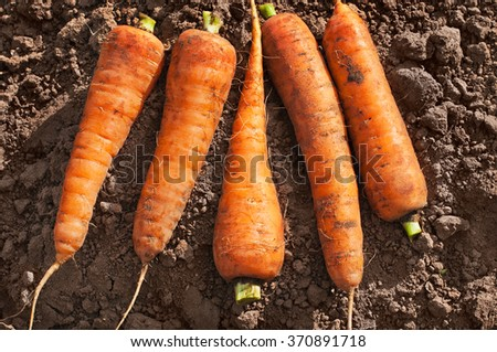 Fresh Organic Carrots on the Ground. Harvesting. - stock photo