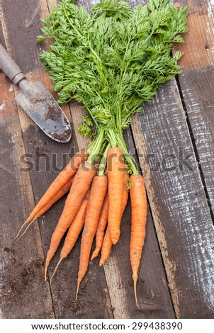 Fresh  organic carrots viewed from above on wood background with garden trowel and dirt (copy space) - stock photo