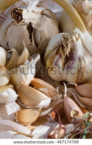 Fresh organic garlic cloves and bulbs as a natural still life for healthy and vegetarian food and cooking arranged with green herbs