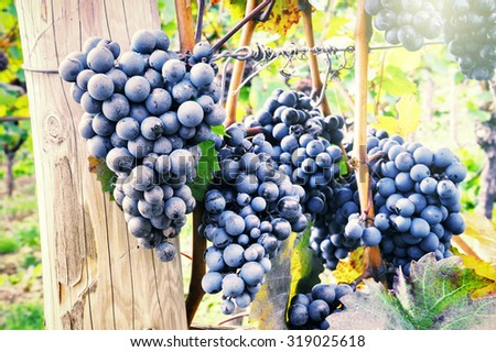 Fresh organic grape on vine branch - stock photo