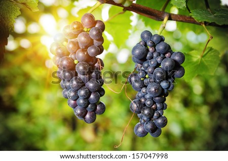 Fresh organic grape on vine branch. Wine making concept  - stock photo