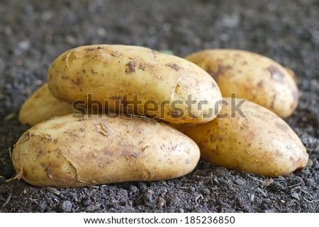 Fresh organic potatoes on the soil in the garden - stock photo
