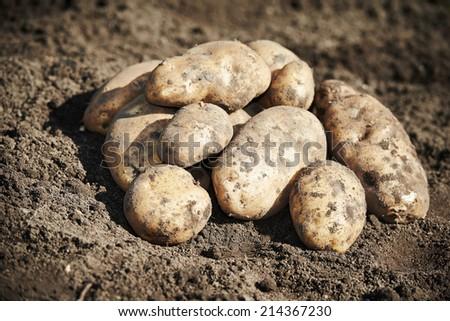 fresh organic potatoes vegetable in the field on soil - stock photo