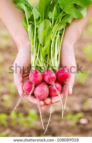 Fresh organic radish in woman's hand - stock photo