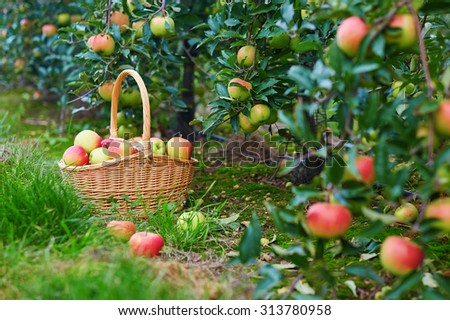Fresh organic red and yellow apples in a basket