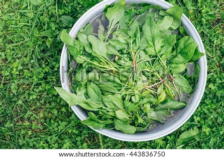 Fresh organic spinach being washed in a large bowl on a grass - stock photo