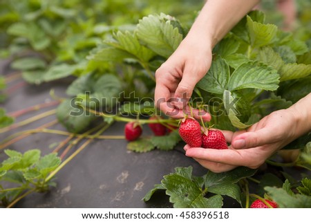 Fresh organic strawberry in woman's hands. Summer harvest in the garden. Healthy food concept - stock photo