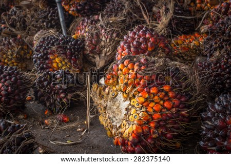 fresh palm oil  - stock photo