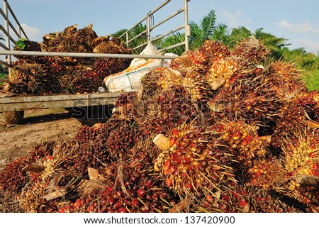 fresh palm oil fruit from truck. - stock photo